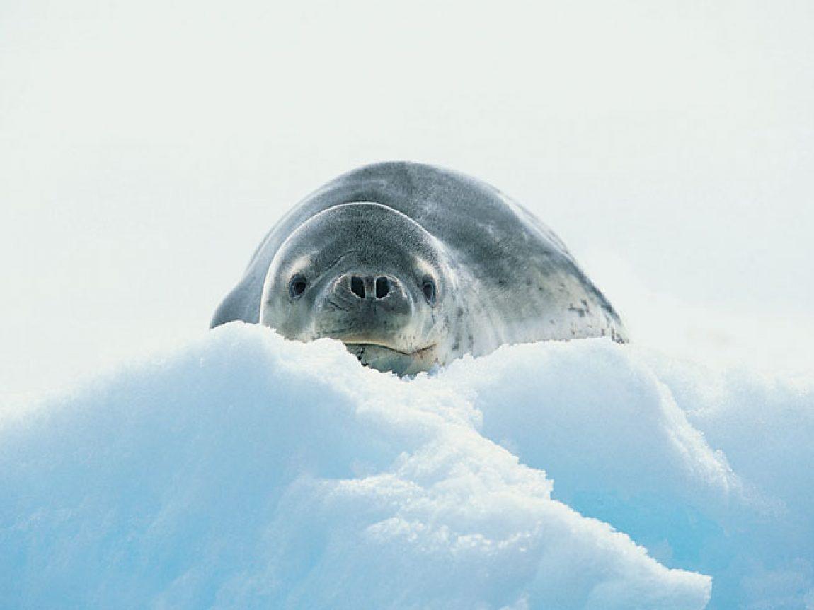 antarctica leopard seal3 rh