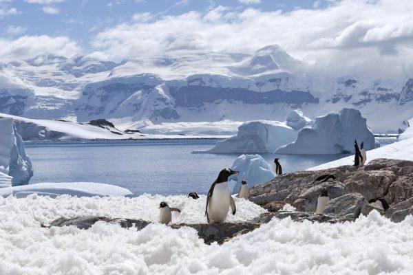 antarctica peninsula gentoo penguins istock