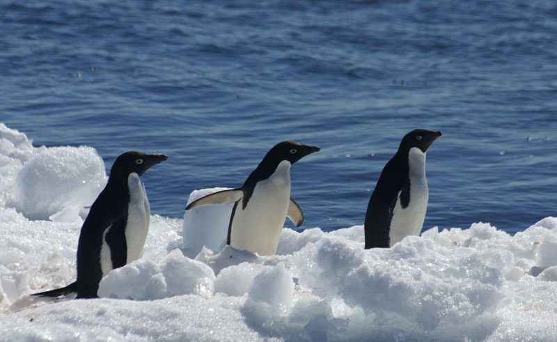 antarctica peninsula paulet island adelie penguins ll