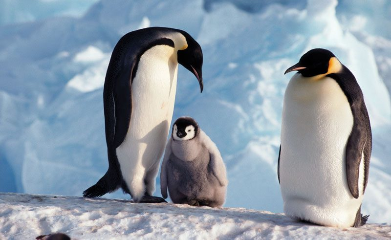 antarctica snow hill emperors and chick qe