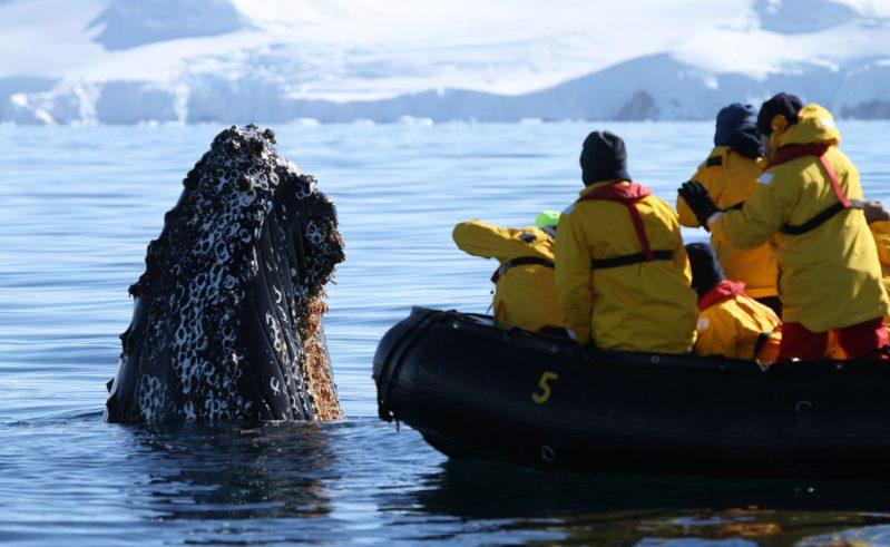antarctica spyhopping whale and zodiac qe