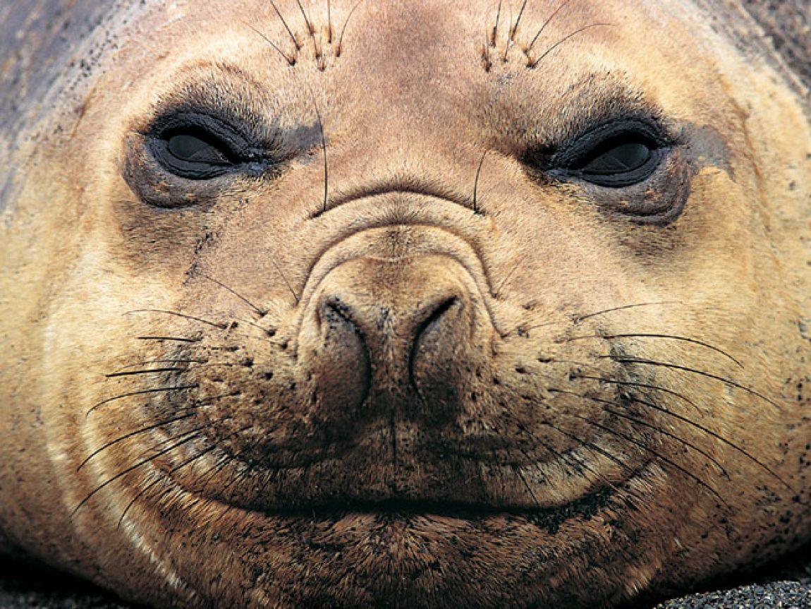 antarctica weddell seal rh