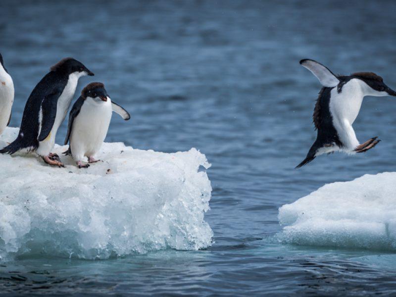 antarctica wildlife adelie penguins icehopping istock
