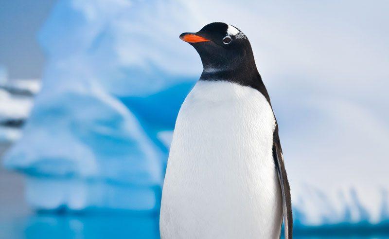 antarctica wildlife gentoo penguin istock