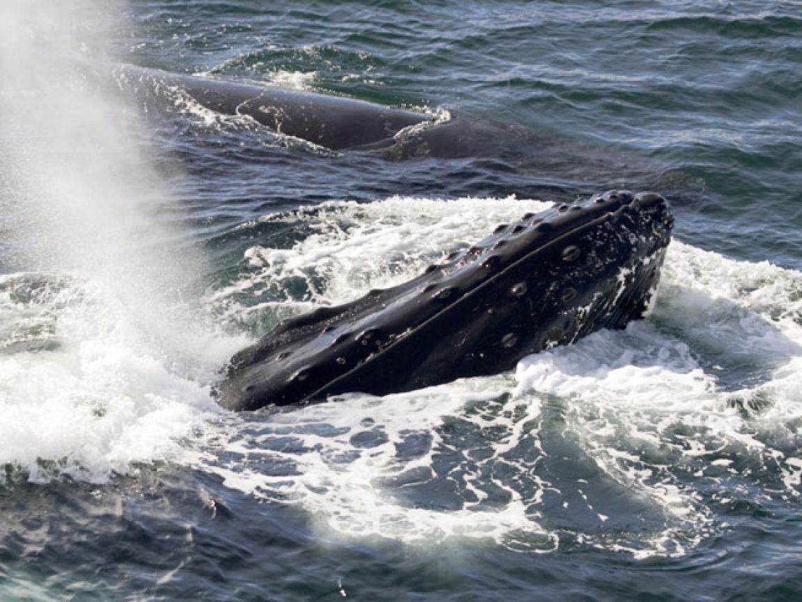 antarctica wildlife humpback qe