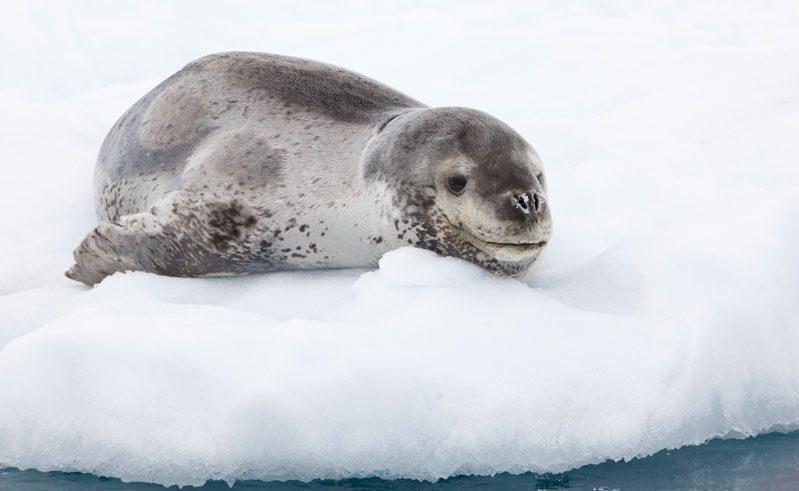 antarctica wildlife leopard seal axxi