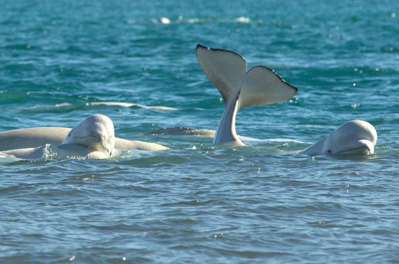 arctic canada belugas at arctic watch