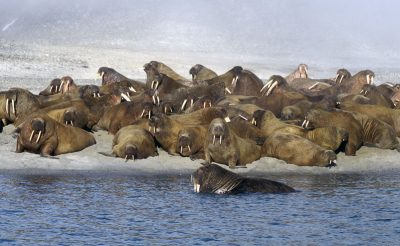 arctic franz josef land walrus herd qe