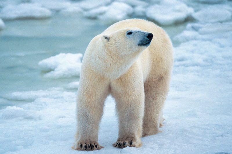 arctic polar bear4 rh