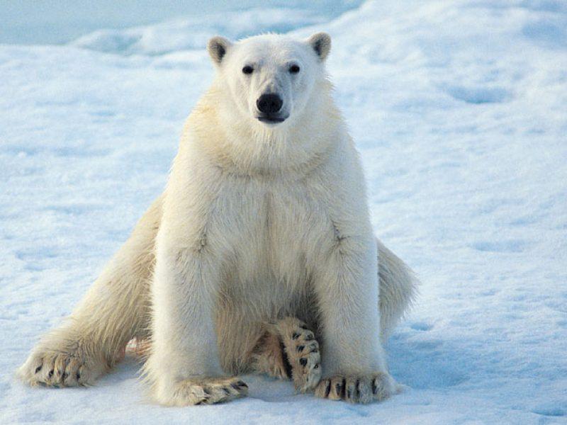 arctic polar bear6 rh