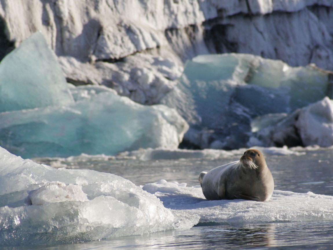 arctic spitsbergen bearded seal on ice floe vn 1