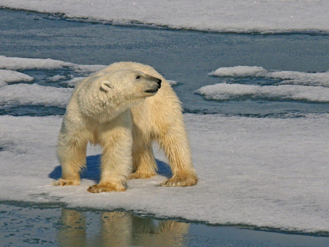 arctic spitsbergen hornsund polar bear istk