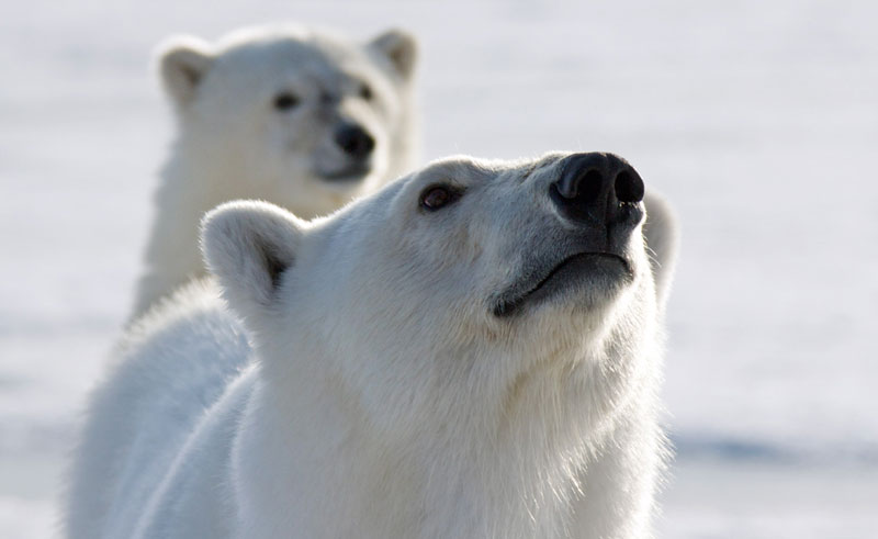 arctic spitsbergen polar bears catching the scent pq