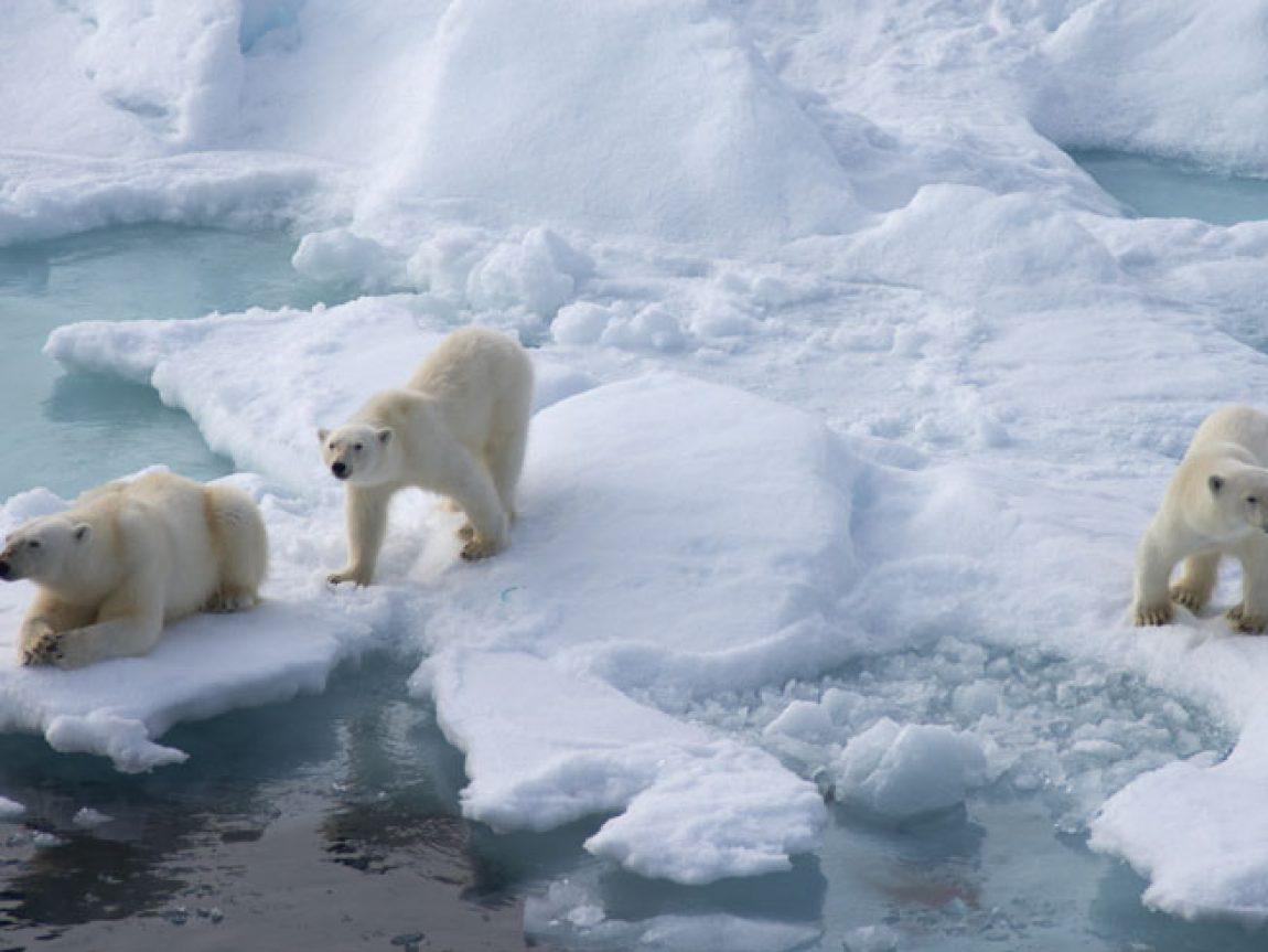arctic spitsbergen polar bears2 db