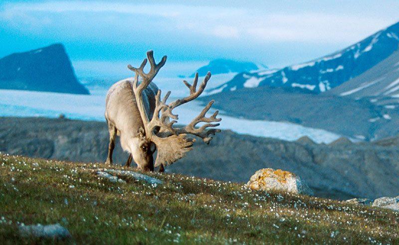 arctic spitsbergen reindeer grazing vn