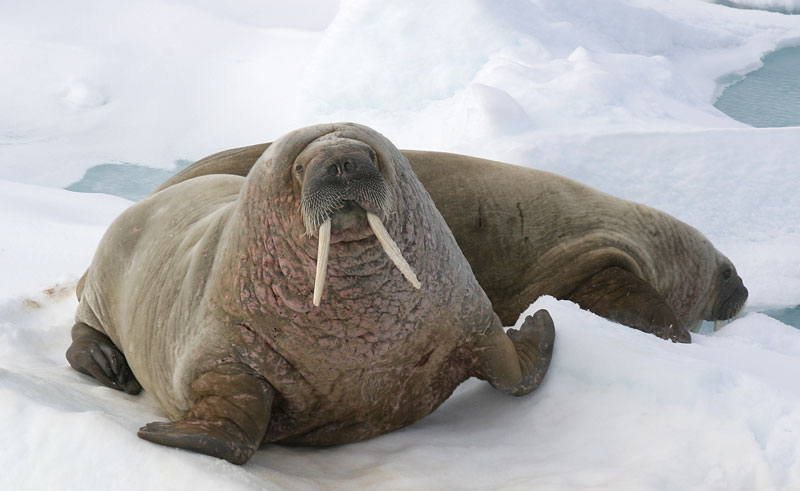 arctic spitsbergen walrus qe