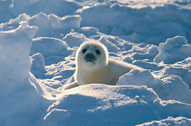 arctic wildlife harp seal2 rh