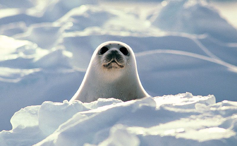 arctic wildlife harp seal3 rh