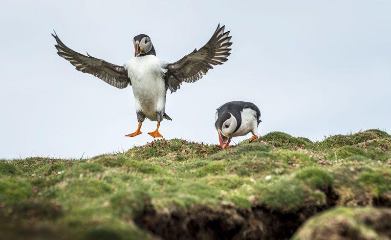 arctic wildlife puffins pos