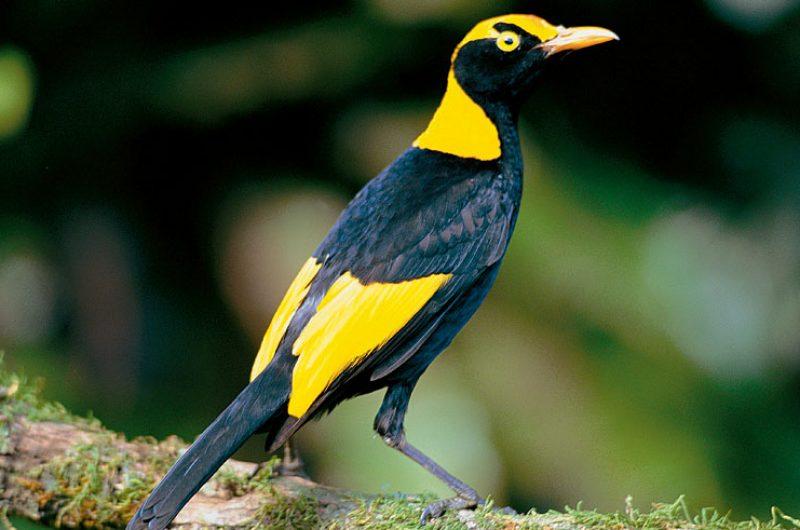 australia gold coast hinterland regent bower bird aw