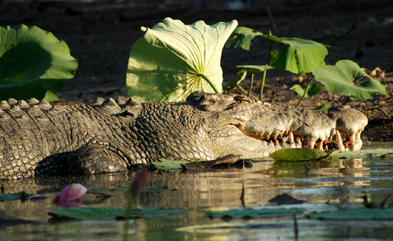 australia northern territory wildlife crocodile ws