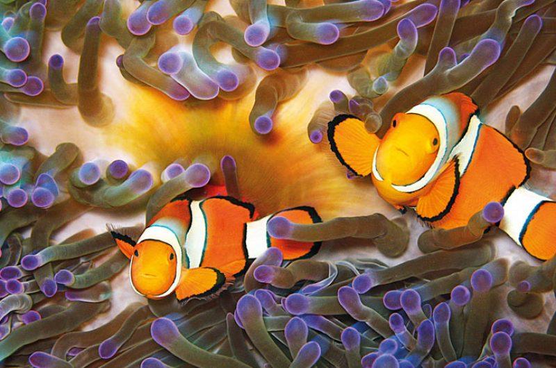 australia queensland clown fish port douglas tq