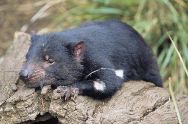 australia tasmania wildlife tasmanian devil2 tt