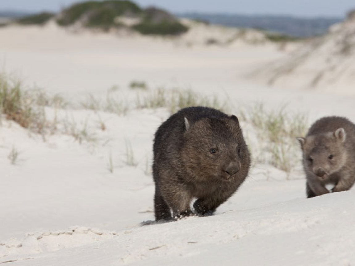 australia tasmania wildlife wombats ta