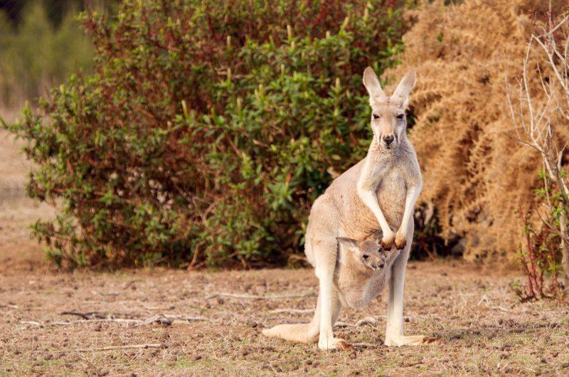australia victoria kangaroo and joey istk
