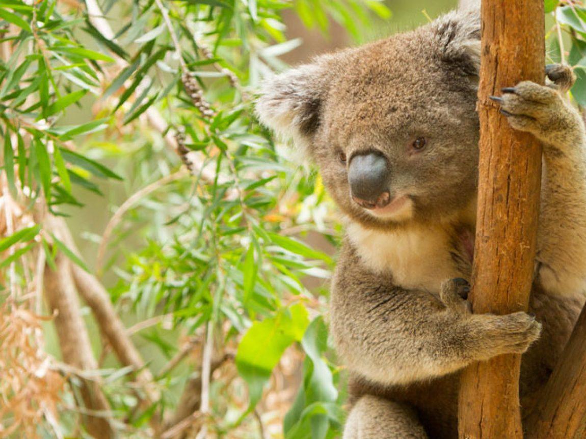 australia victoria koala is