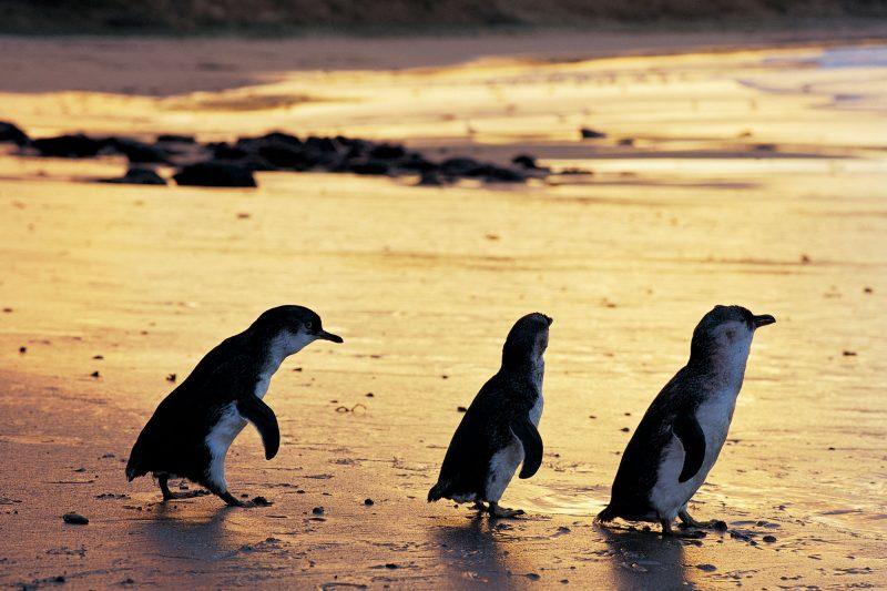 australia victoria phillip island penguins satc