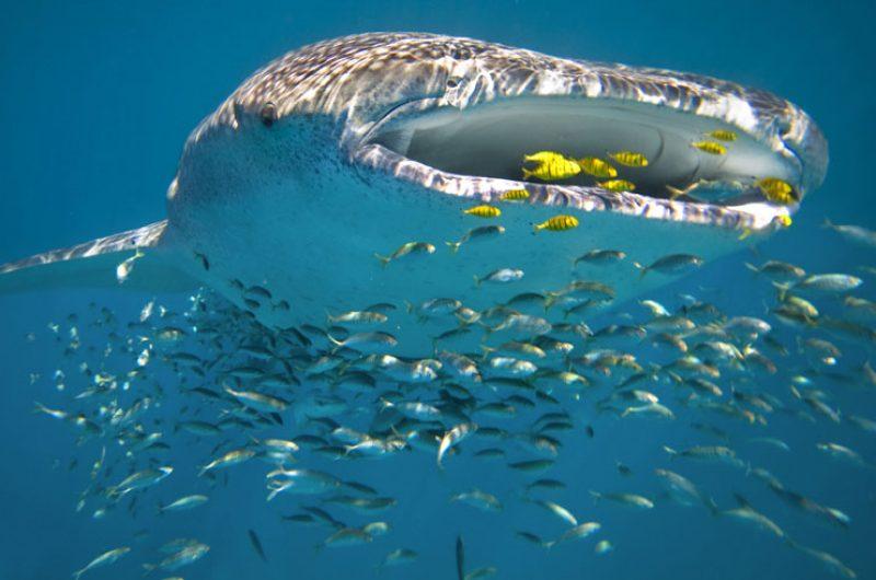 australia wa ningaloo reef whale shark feeding ss