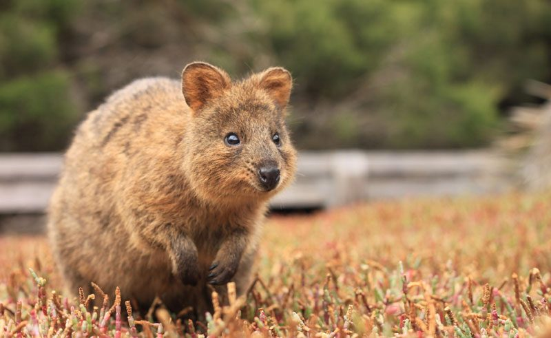 australia wa rottnest island quokka ta