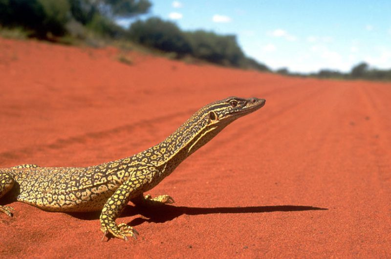 australia wildlife goanna ta