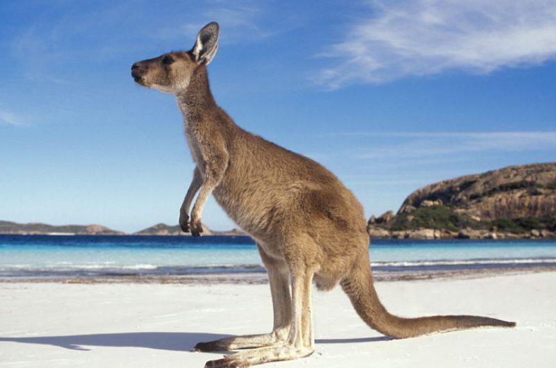 australia wildlife kangaroo beach ta