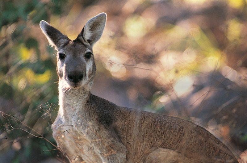 australia wildlife kangaroo rh