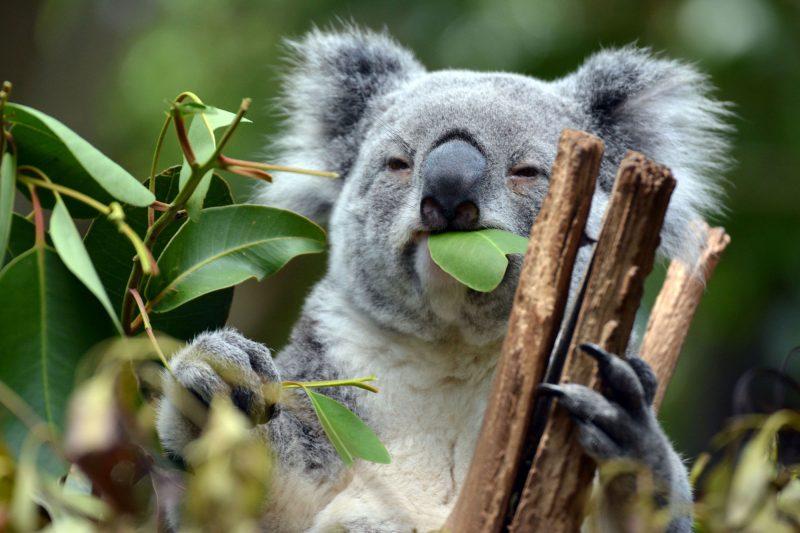 australia wildlife koala istk