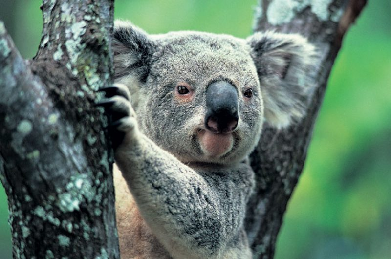 australia wildlife koala2 rh
