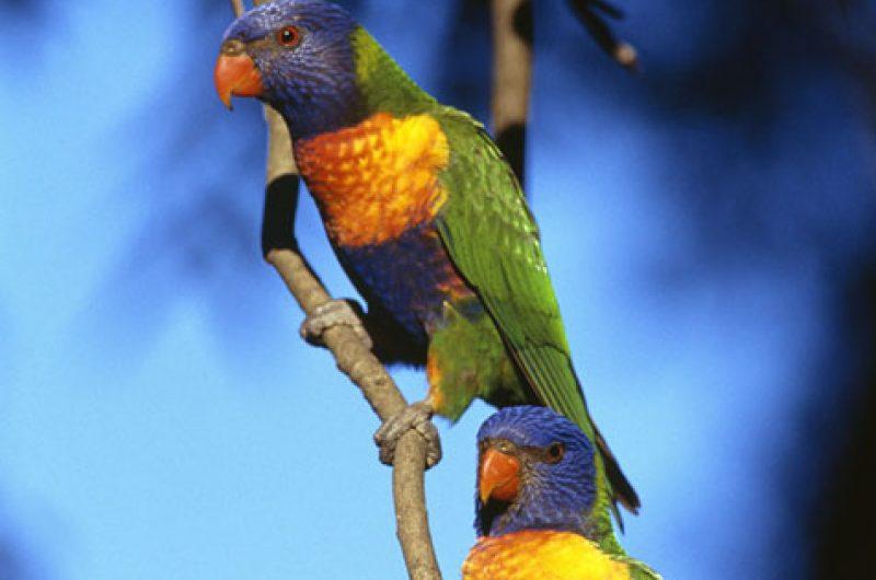 australia wildlife lorikeets ta