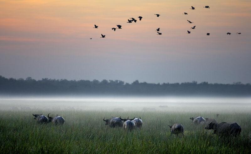 bamurru plains water buffalo