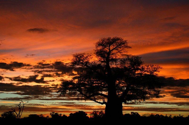 botswana mombo camp sunset baobab safdestins