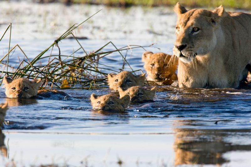 botswana okavango lions istk