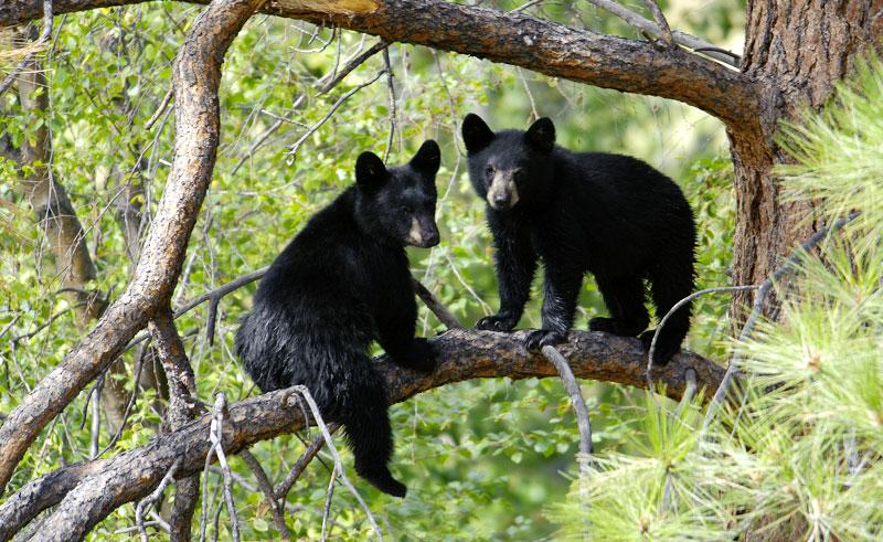 canada bc black bears up tree istock