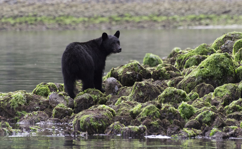 canada bc blk bears is