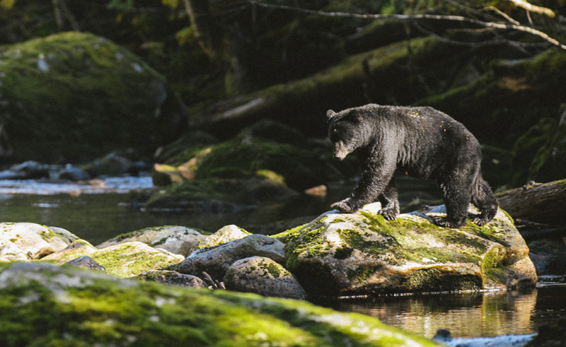 canada bc great bear rainforest black bear1 ctc