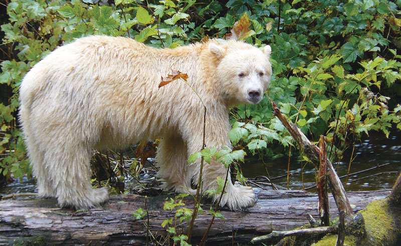 canada bc great bear rainforest kermode bear
