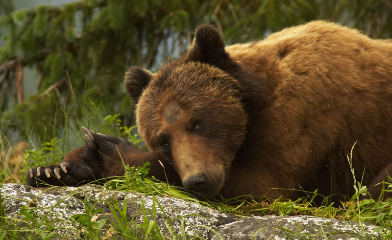 canada bc knight inlet lodge grizzly bear