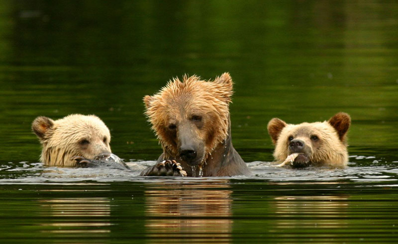 canada bc knight inlet lodge grizzly bears2