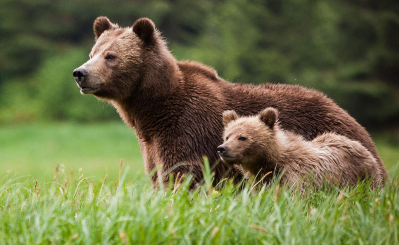 canada bc knight inlet lodge grizzly bears3