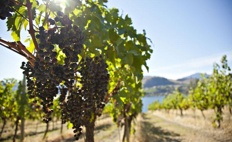 canada bc okanagan valley vineyards ctc